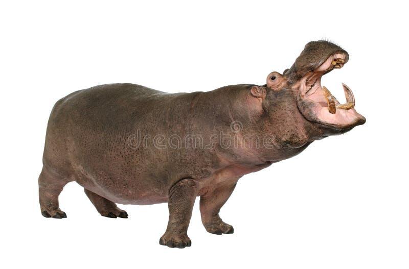 Hippopotamus - amphibius del Hippopotamus (30 anni) fotografia stock libera da diritti