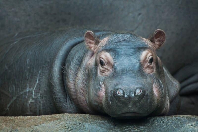 Hippopotamus (amphibius del Hippopotamus) fotografie stock libere da diritti