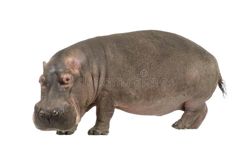 Hippopotamus - amphibius do Hippopotamus (30 anos) imagem de stock