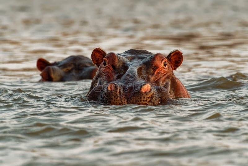 Hippopotamus - Hippopotamus amphibius of hippo is groot, meestal herbivoren, semiaquatisch zoogdier dat inheems is voor Sub-Sahar stock afbeeldingen