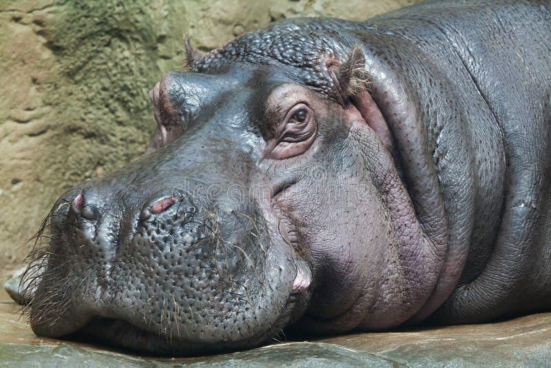 Hippopotamus (amphibius Hippopotamus) стоковые фото