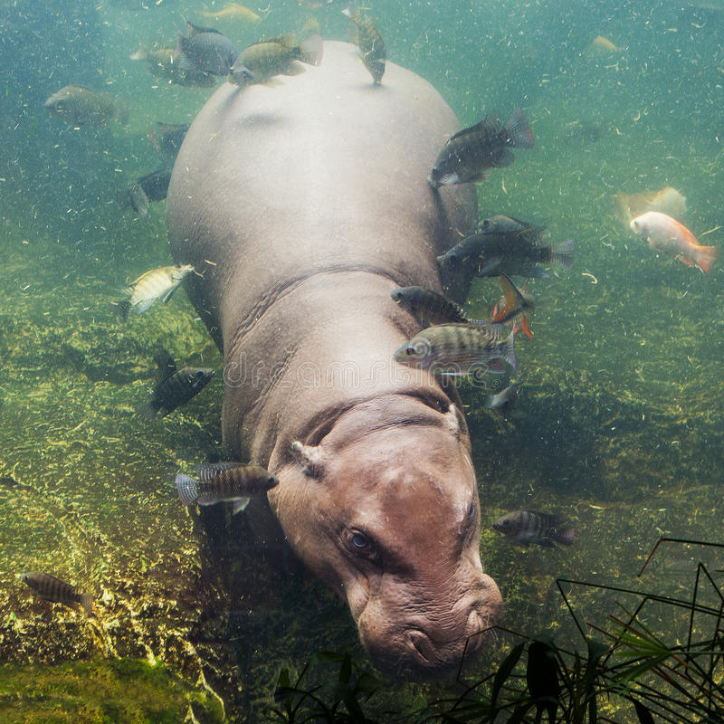 Hippopotamus amphibius, Southafrica. Hippopotamus, Hippopotamus amphibius, Southafrica in zoo stock photography