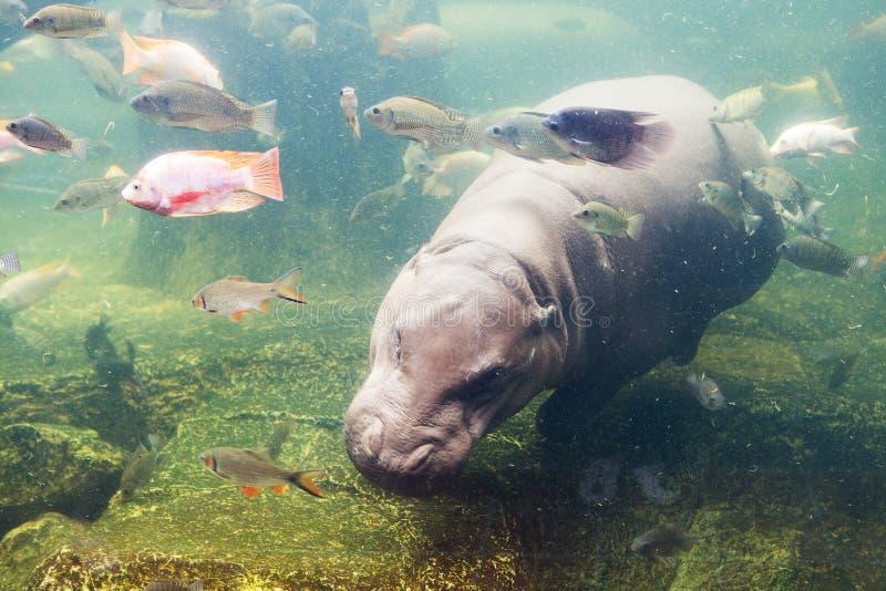 Hippopotamus amphibius, Southafrica. Zoo in thailand royalty free stock photos