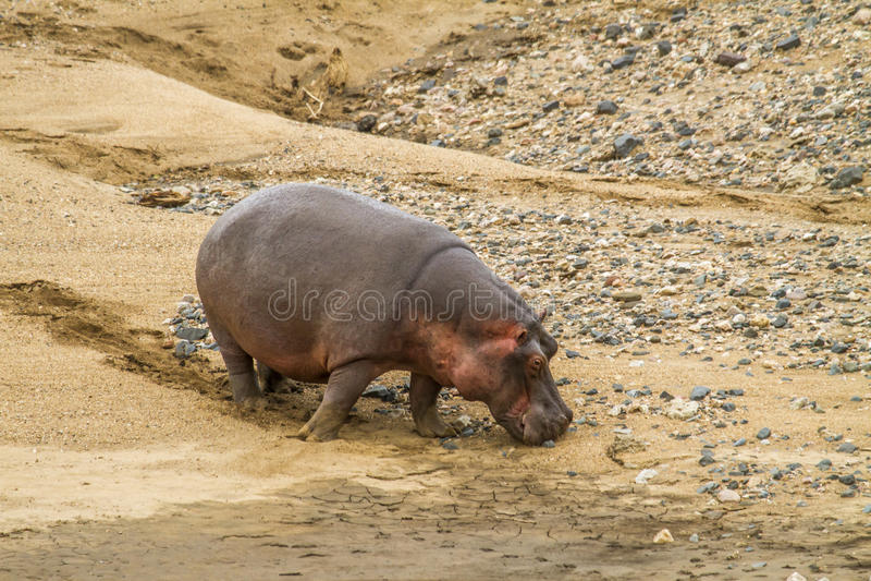 Hippopotamus amphibius, wild hippo grazing in the riverbank royalty free stock image