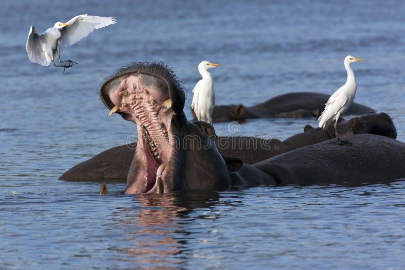 Hippopotamus avec des hérons images libres de droits
