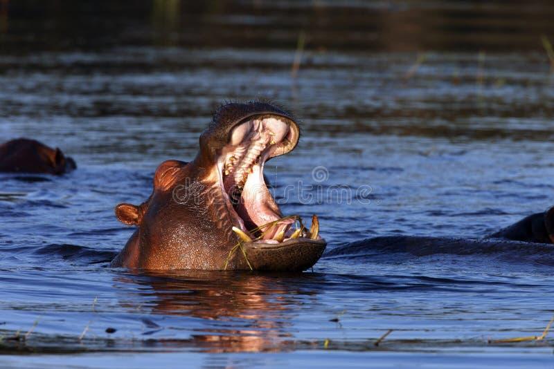 Hippopotamus - Botswana stock photography