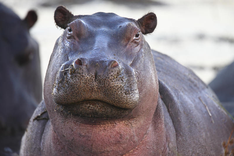 Hippopotamus - Botswana immagini stock libere da diritti