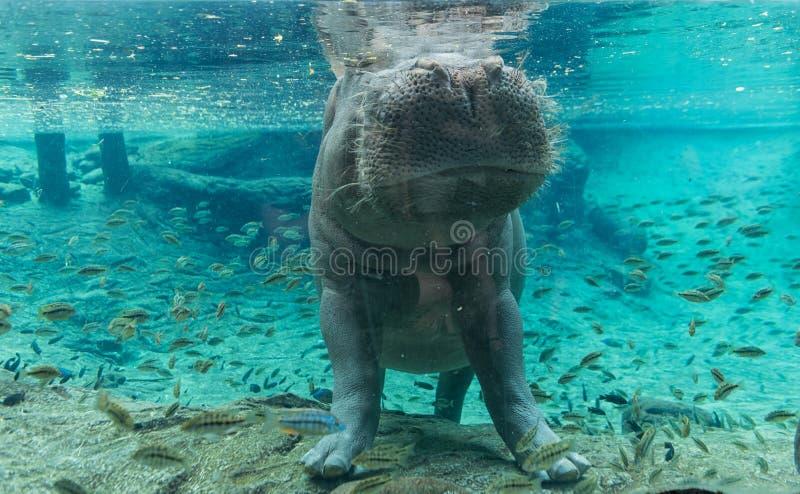 Hippopotamus in Busch Gardens Tampa Bay. Florida. Hippopotamus in Busch Gardens Tampa Bay. Florida stock image