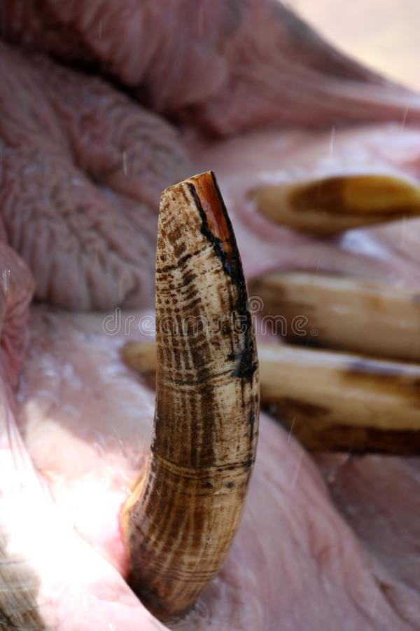 Download Hippopotamus Canine Tooth Stock Photography - Image: 17565862