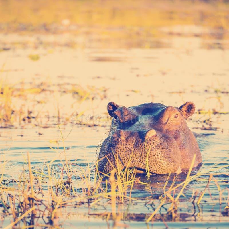 Hippopotamus Chobe royalty-vrije stock foto's