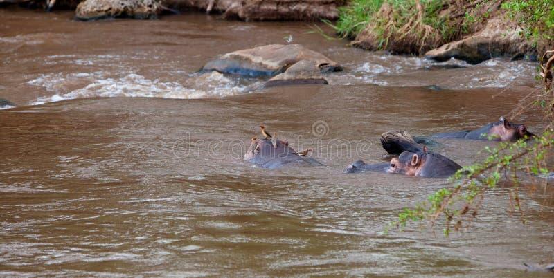 Hippopotamus con Oxpeckers Rosso-fatturato. immagine stock