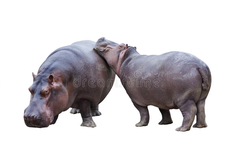 Hippopotamus couple stock image