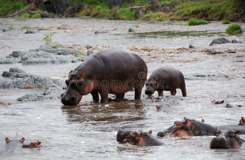 hippopotamus de famille images stock