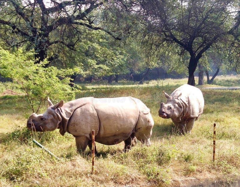 Hippopotamus stock foto's