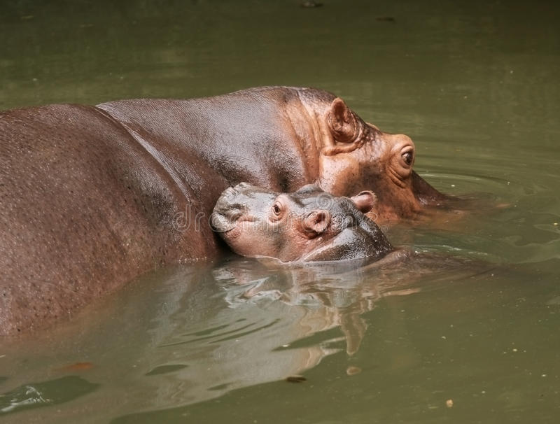Hippopotamus de la madre con sus jóvenes fotos de archivo