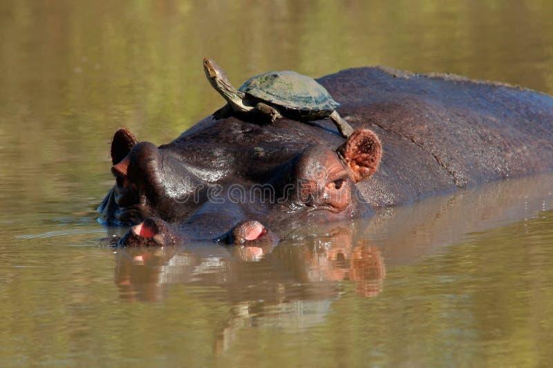 Hippopotamus e tartaruga de água doce fotografia de stock royalty free