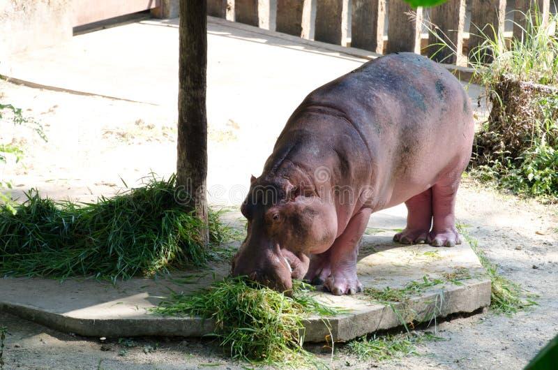 Hippopotamus eating grass. In Chiang Mai Zoo. Thailand stock photography