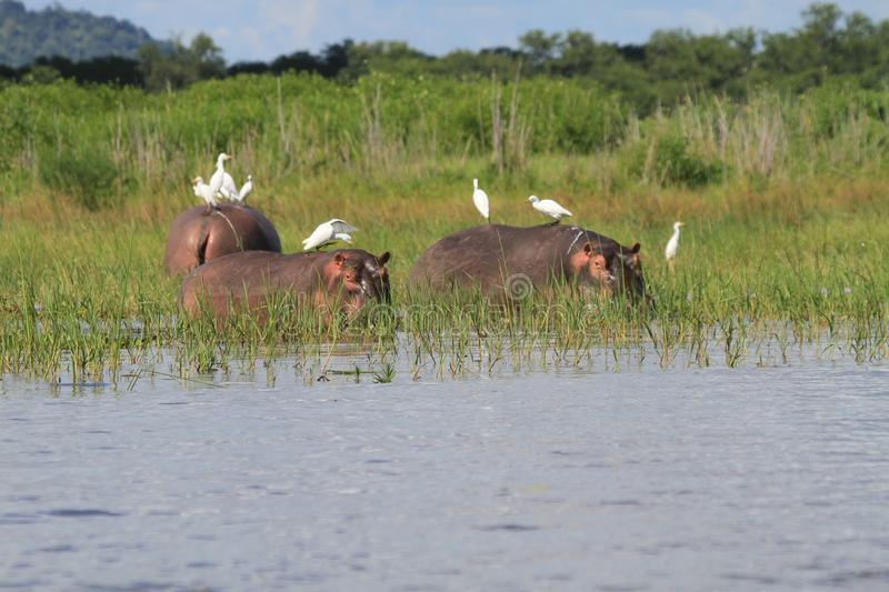 Hippopotamus with egrets royalty free stock images