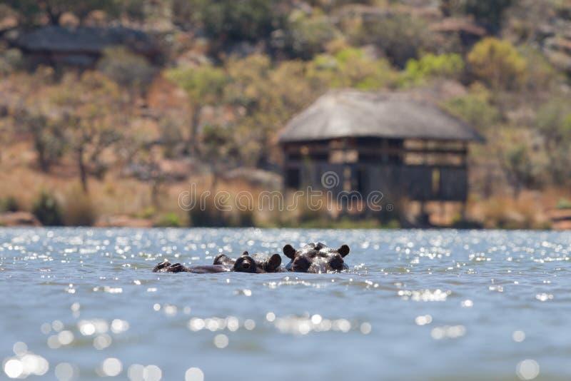 Hippopotamus en Afrique photo libre de droits