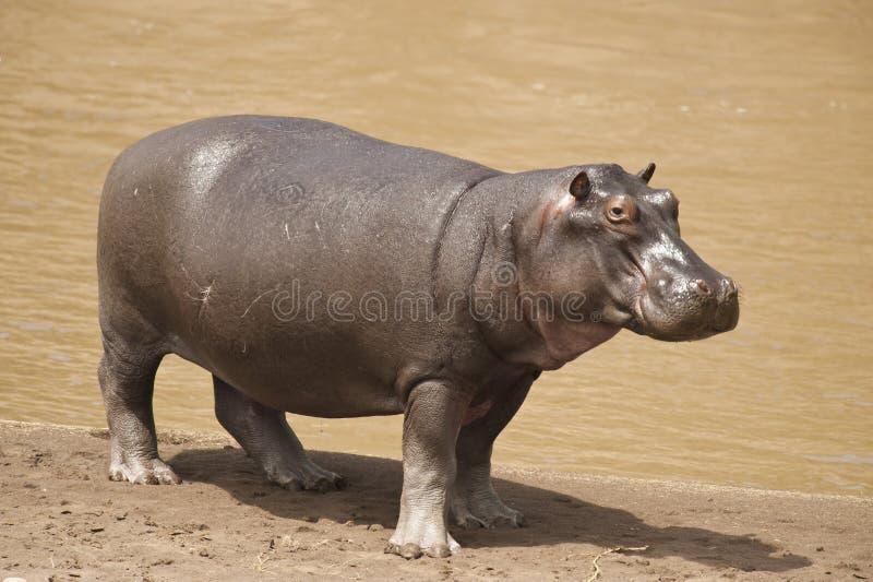 Hippopotamus fotos de archivo