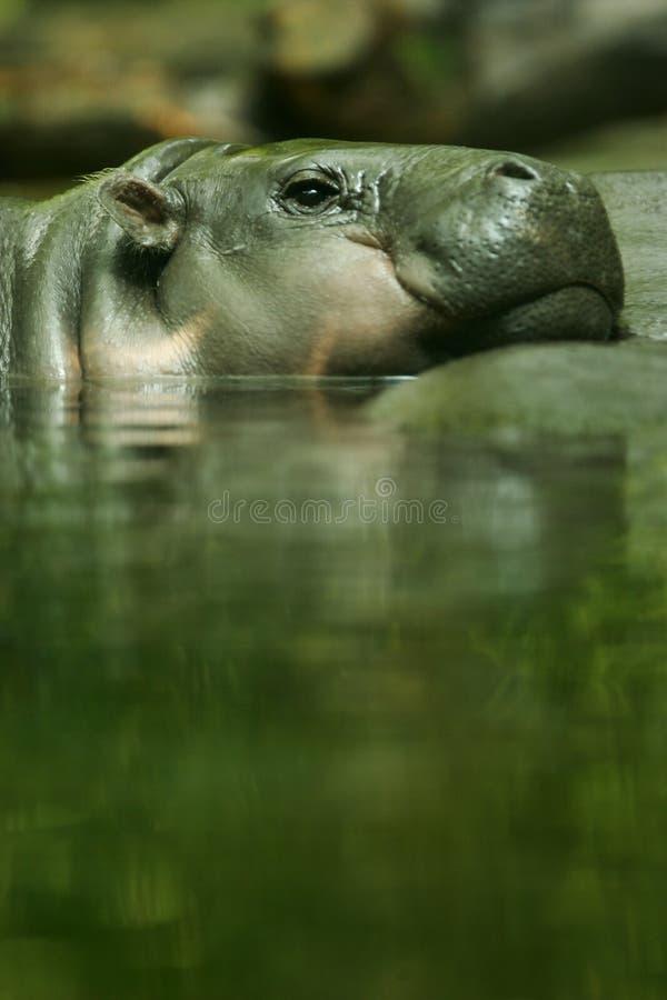 Hippopotamus enano imagen de archivo