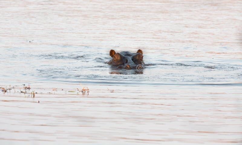 Download Hippopotamus eyes stock image. Image of safari, animals - 35146153