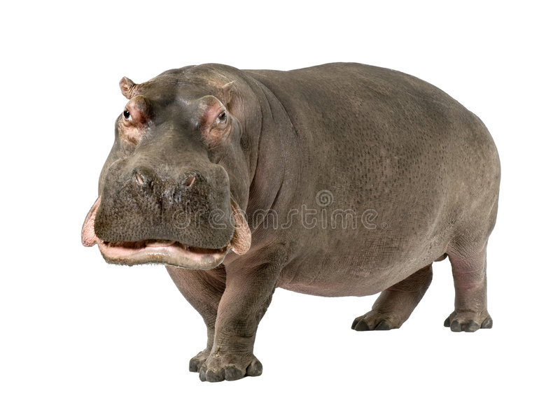 Hippopotamus - Hippopotamus amphibius ( 30 years). In front of a white background royalty free stock photography