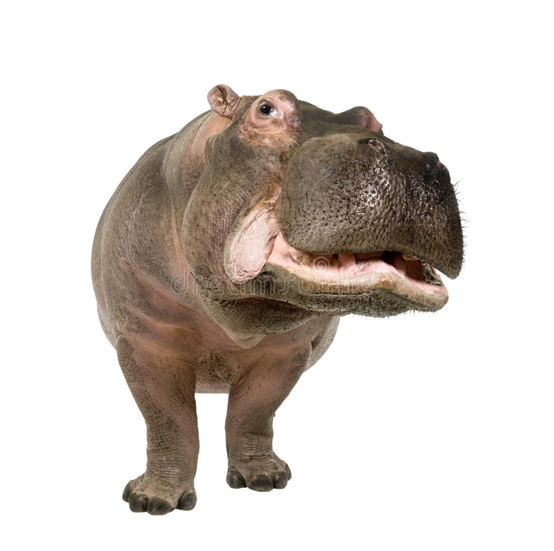 Hippopotamus - Hippopotamus amphibius ( 30 years). In front of a white background stock image
