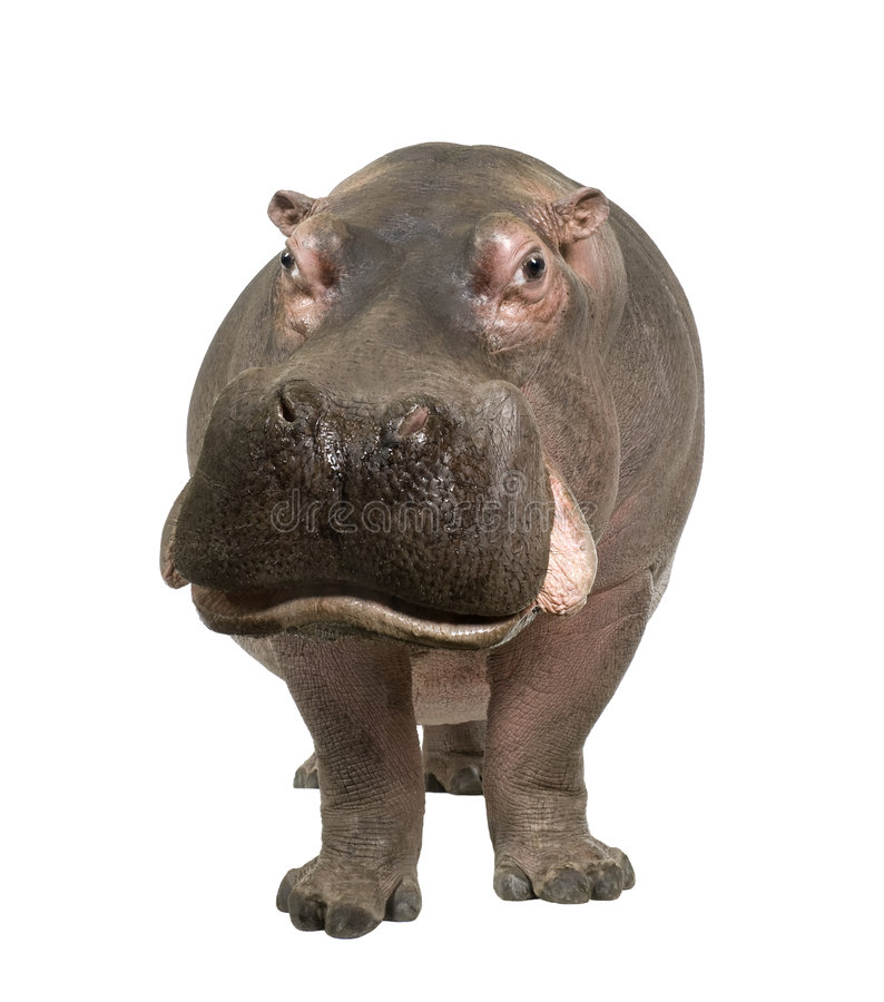 Hippopotamus - Hippopotamus amphibius ( 30 years). In front of a white background royalty free stock photos