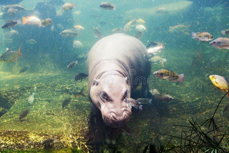 Hippopotamus, Hippopotamus amphibius, Southafrica. In Thailand stock photography