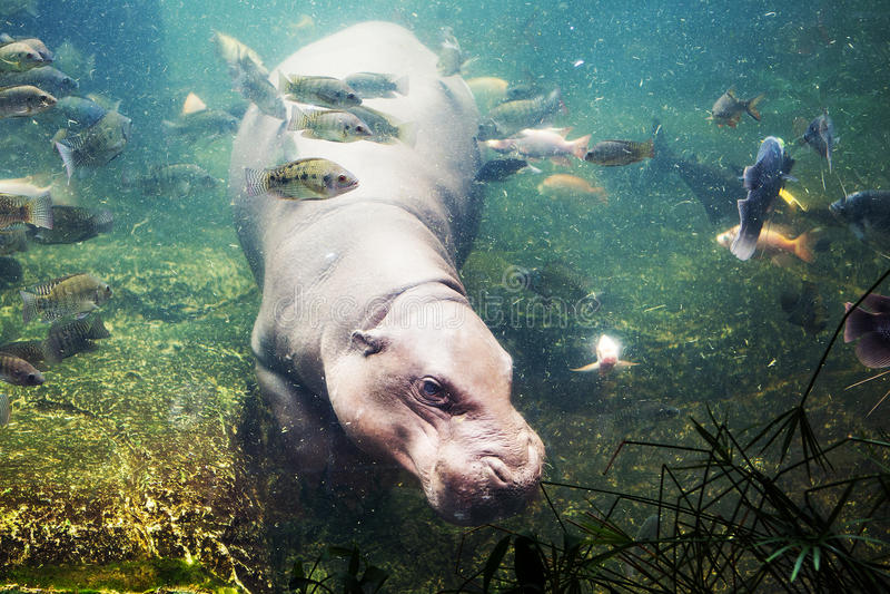Hippopotamus, Hippopotamus amphibius, Southafrica. In Thailand stock images
