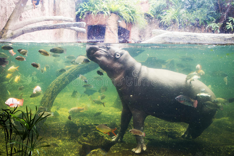Hippopotamus, Hippopotamus amphibius, Southafrica. In Thailand royalty free stock photography