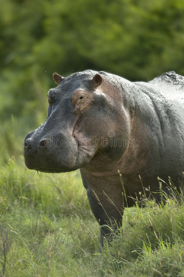 Hippopotamus im serengeti Vorbehalt lizenzfreies stockfoto
