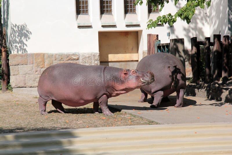 Hippopotamus im Zoo lizenzfreie stockfotos