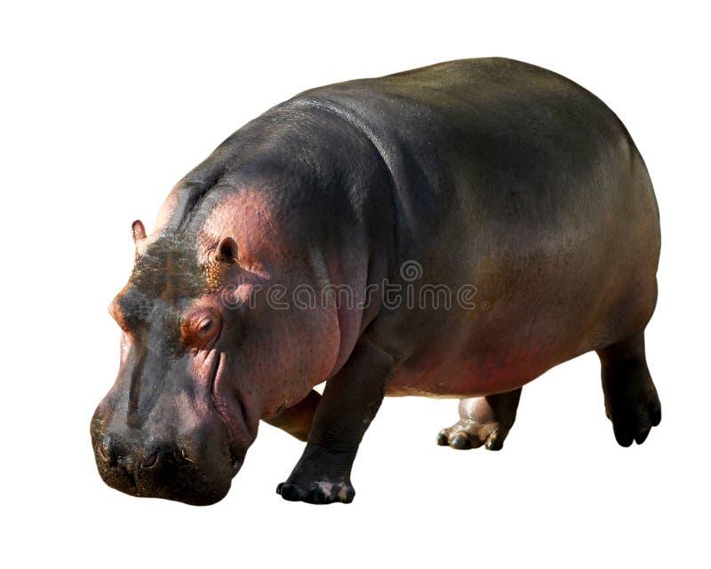 Hippopotamus isolado imagem de stock