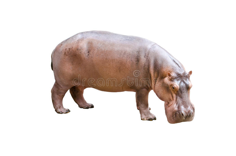 Hippopotamus isolated. In the white background royalty free stock photography