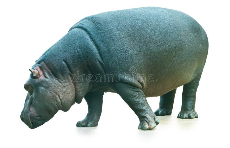 Hippopotamus isolated on white background stock image