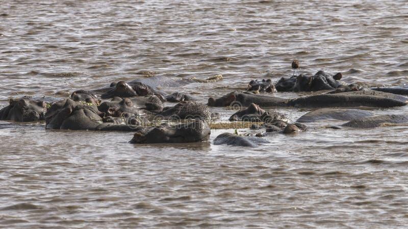 Hippopotamus in the lake royalty free stock image
