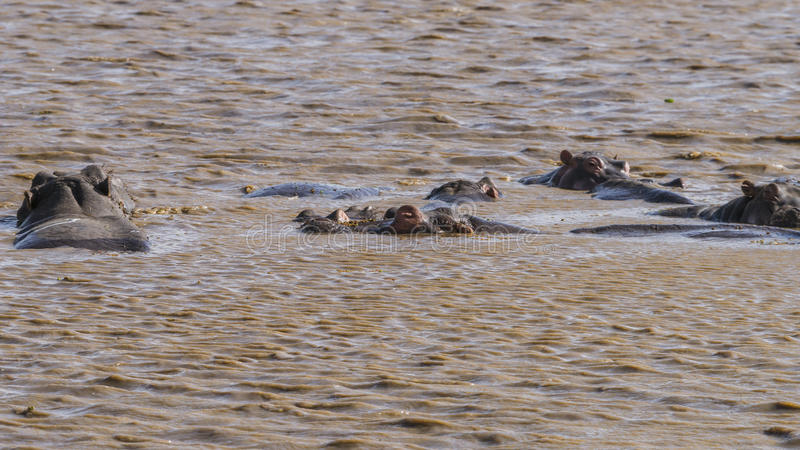 Hippopotamus in the lake stock image