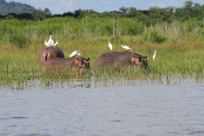 Hippopotamus mit Reihern lizenzfreie stockbilder