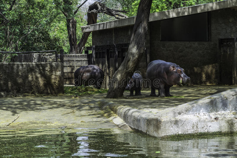 Hippopotamus. The National Zoological Park originally Delhi Zoo is a 176-acre 71 ha zoo near the Old Fort in Delhi, India. A 16th-century citadel, a sprawling stock photo