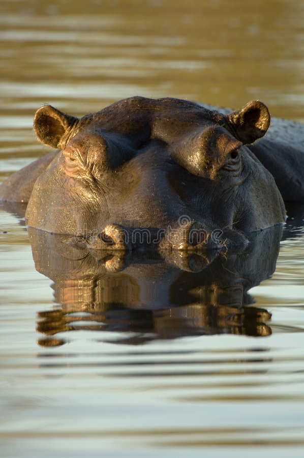 Hippopotamus no crepúsculo fotografia de stock royalty free