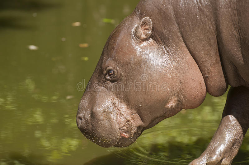 Hippopotamus pygméen photos stock
