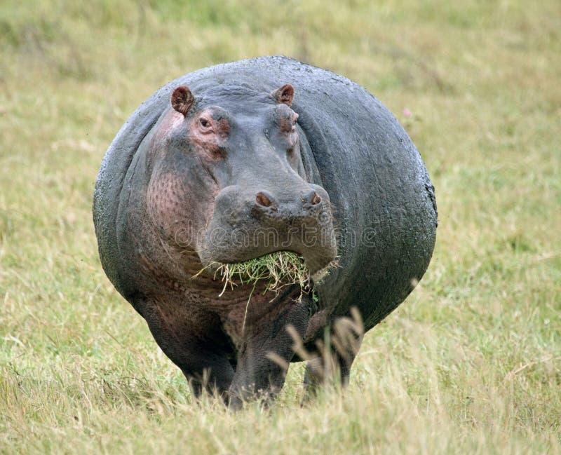 Hippopotamus que come la hierba fotografía de archivo