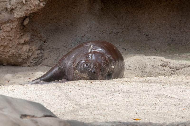A hippopotamus resting at the San Diego Zoo in California. royalty free stock photo