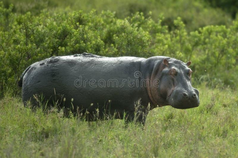 Hippopotamus in the serengeti reserve stock photo