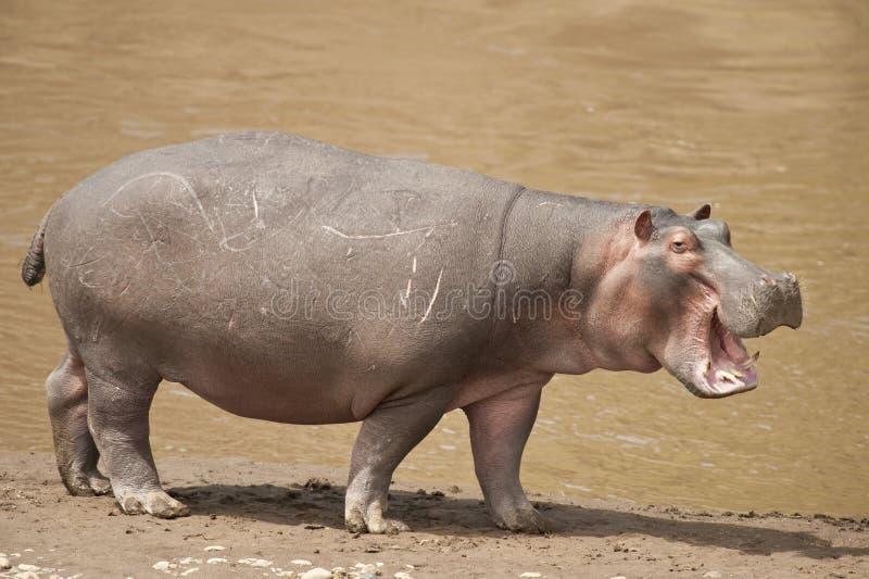 Hippopotamus stock photography