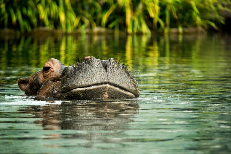 Hippopotamus in the water showing just the head stock image