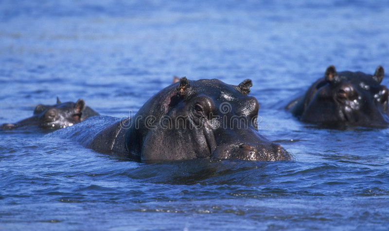 hippopotamuse στοκ εικόνα με δικαίωμα ελεύθερης χρήσης