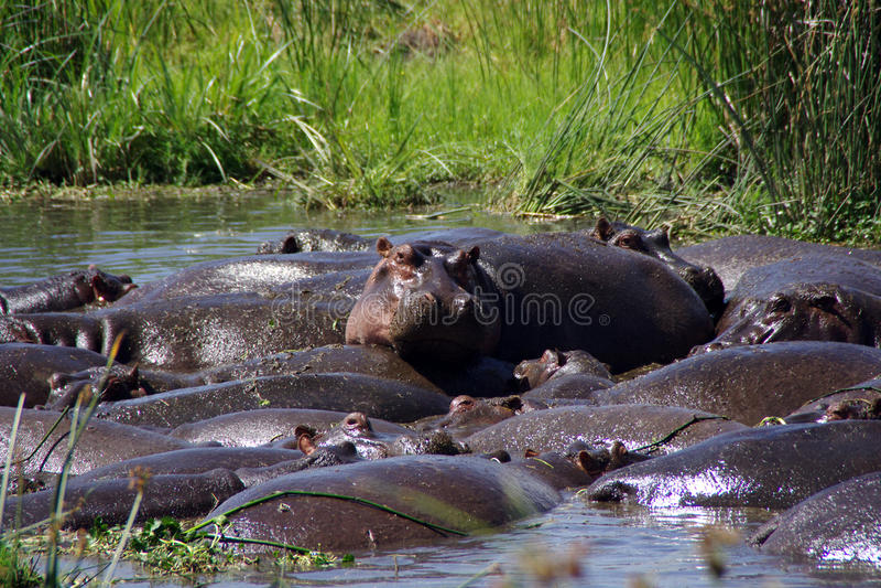 hippopotamuses foto de stock royalty free